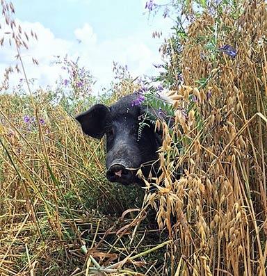 Schwein im Hafer